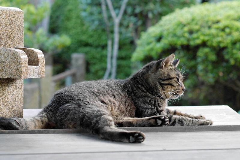井戸の蓋上のキジトラ猫1