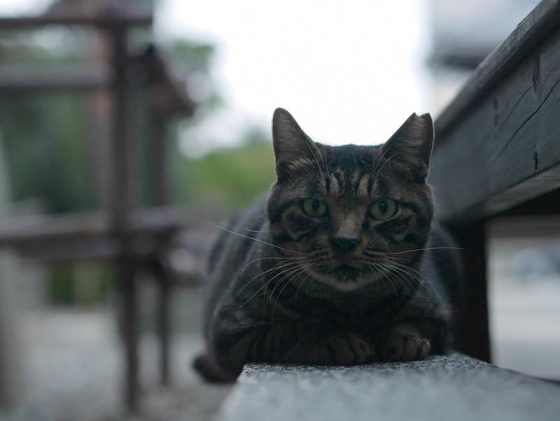縁石で腹ばうキジトラ猫1
