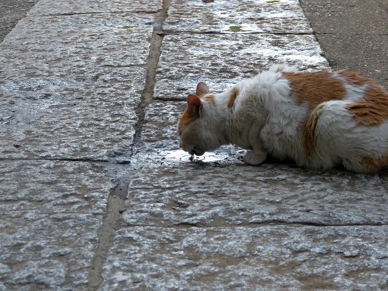 石畳の溜り水を飲む茶白猫2