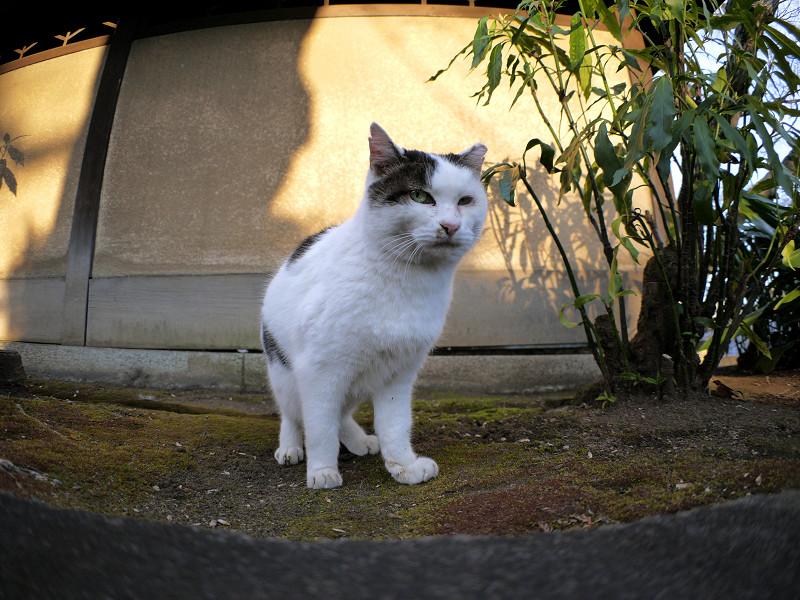 光と影と鳴く白キジ猫2