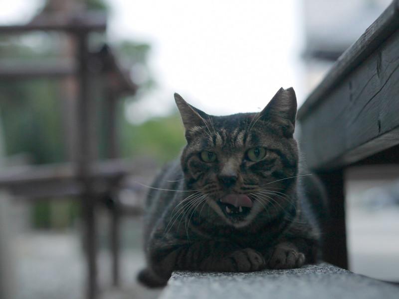 縁石で腹ばうキジトラ猫2