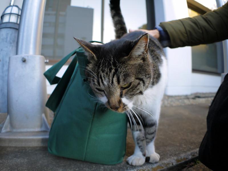 緑のバッグとキジ白猫3