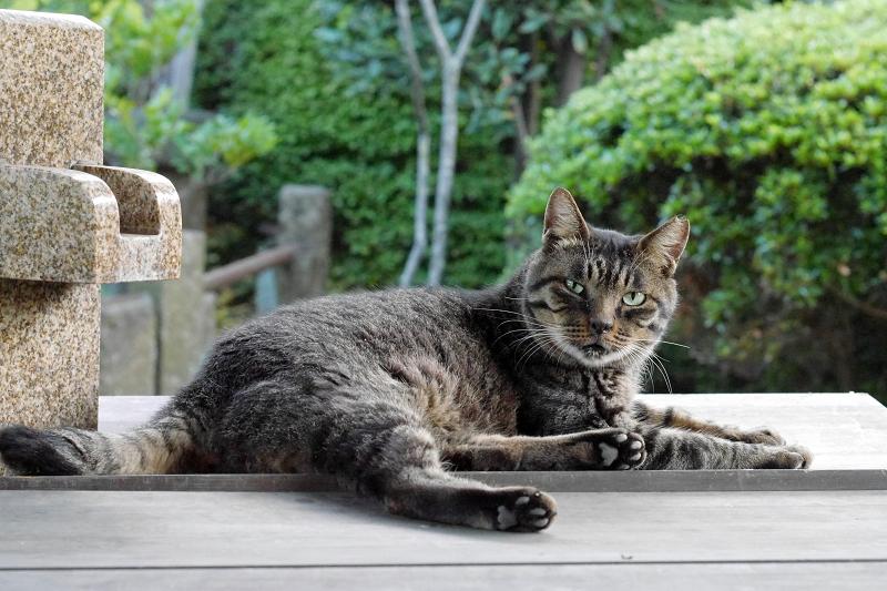 井戸の蓋上のキジトラ猫3