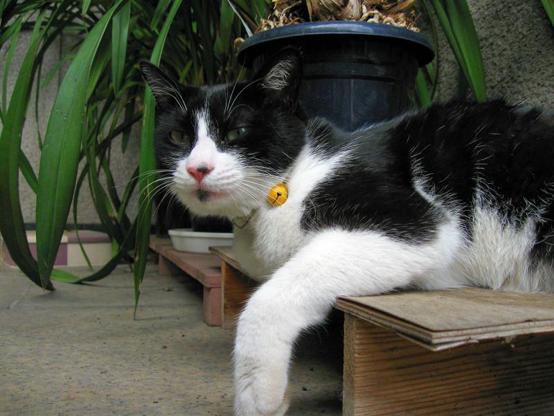 ベンチで腹ばう黒白猫