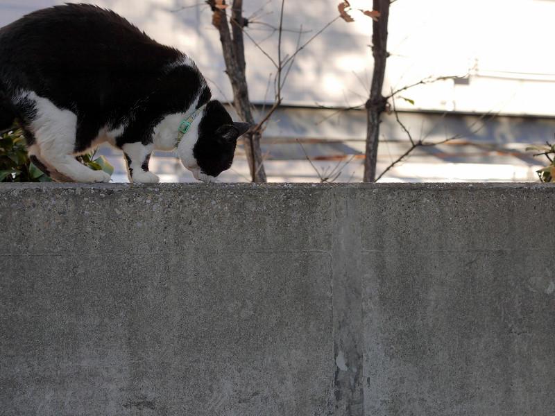 塀と黒白猫1