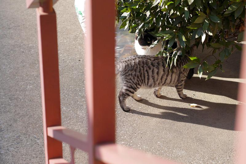 近づいたサバトラ猫