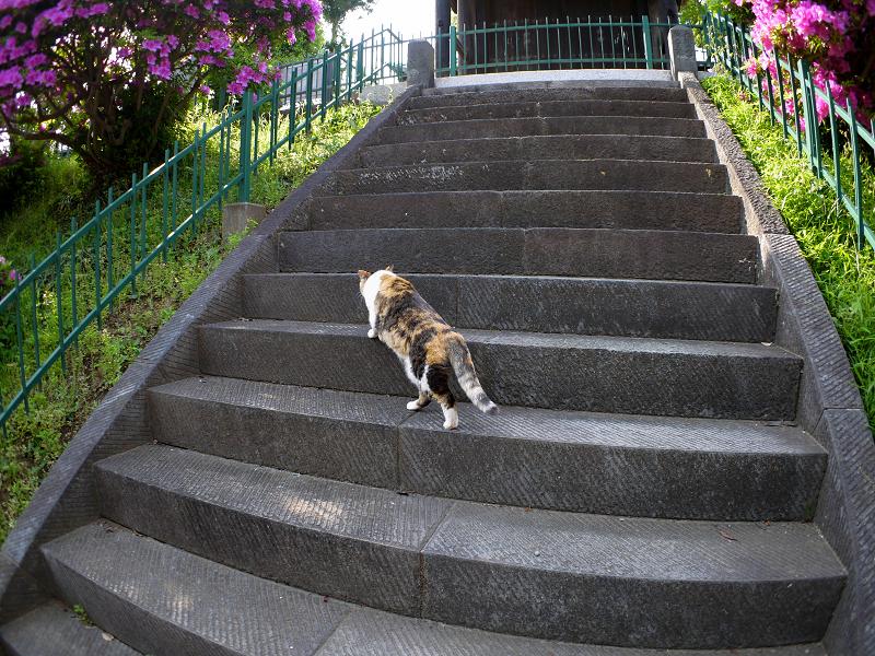 急階段を上がる三毛猫1
