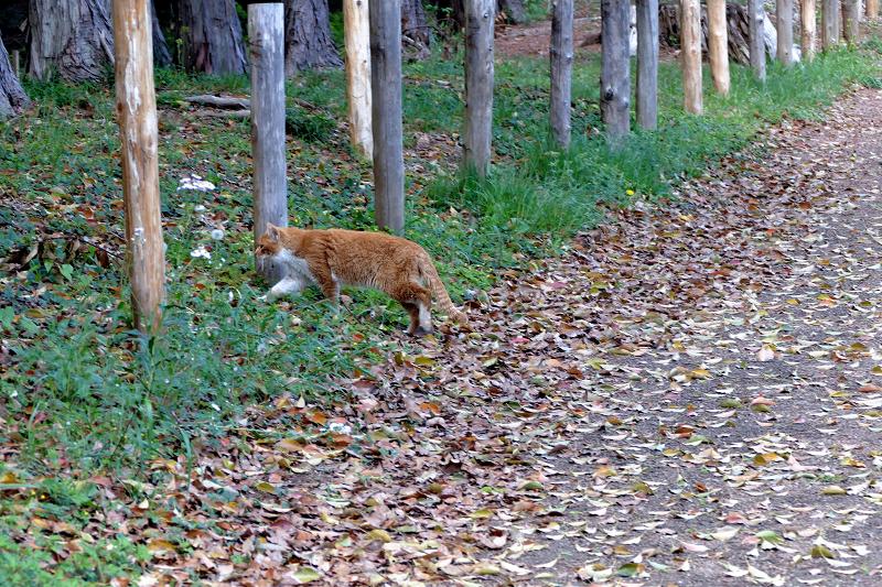 土道を歩く茶白猫1