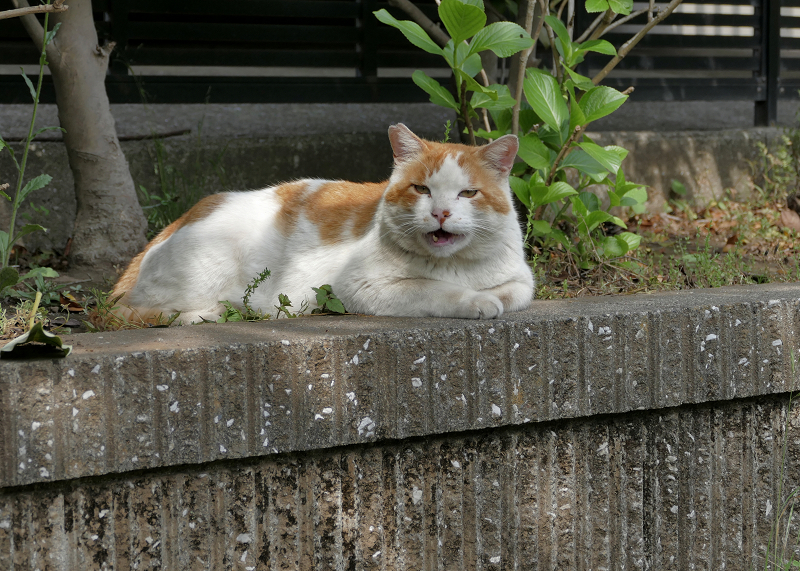 公園の奥の白茶猫1