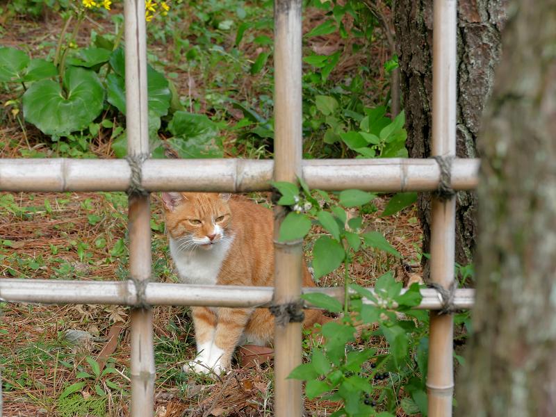 竹の柵と茶白猫1
