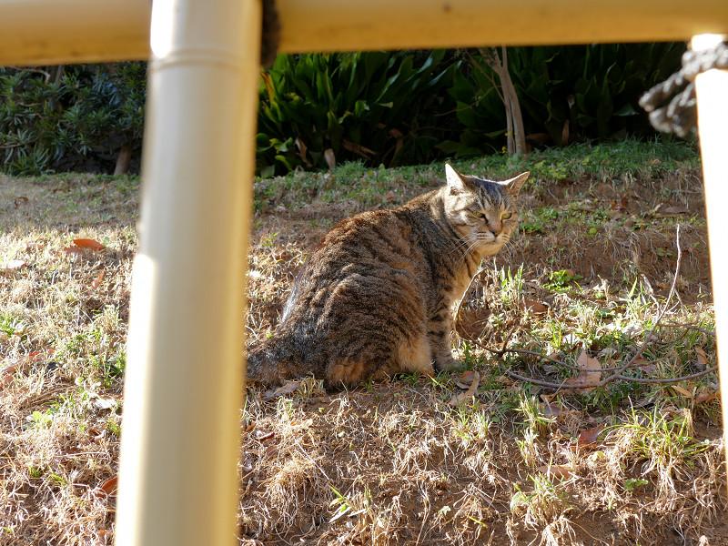 斜面のキジトラ猫1