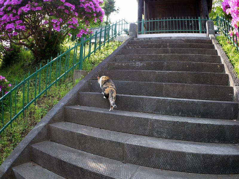 急階段を上がる三毛猫2