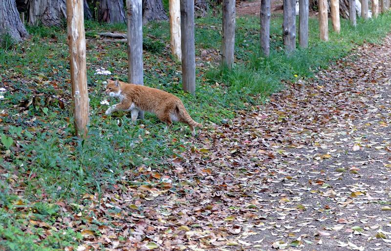 土道を歩く茶白猫2