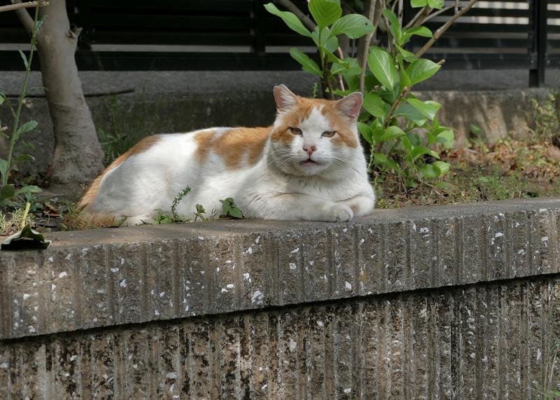公園の奥の白茶猫2