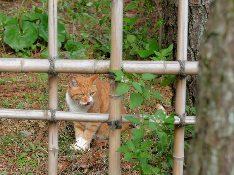 竹の柵と茶白猫2