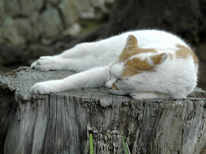 切り株上で寝ていた白茶猫2
