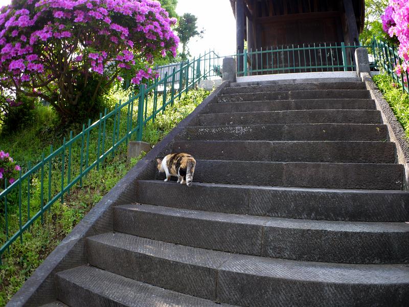 急階段を上がる三毛猫3