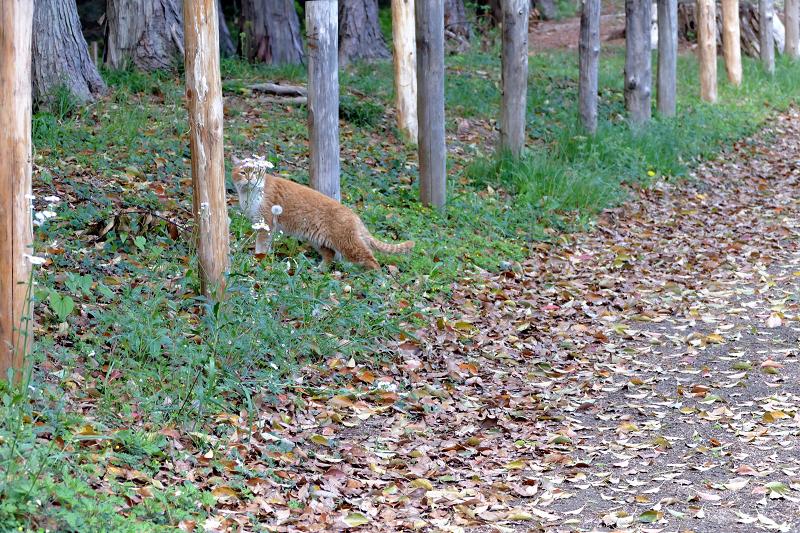 土道を歩く茶白猫3