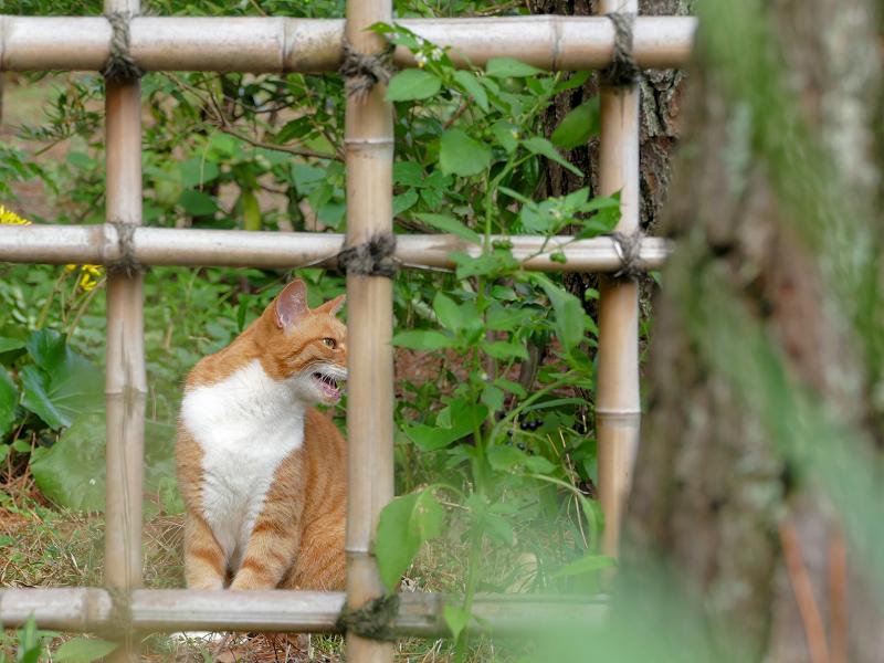 竹の柵と茶白猫3