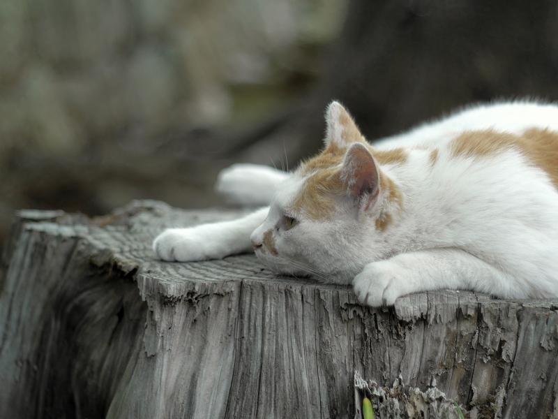 切り株上で寝ていた白茶猫3