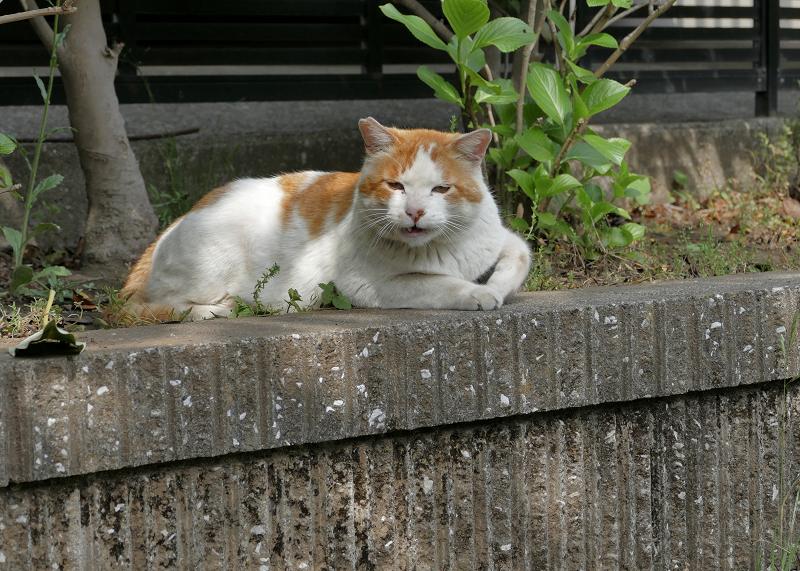 公園の奥の白茶猫