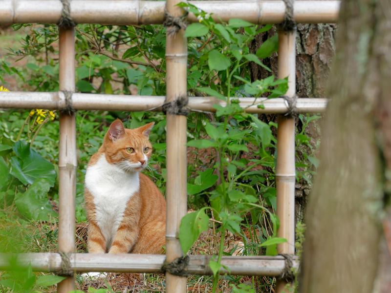 竹の柵と茶白猫4