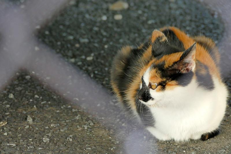金網越しの三毛猫1