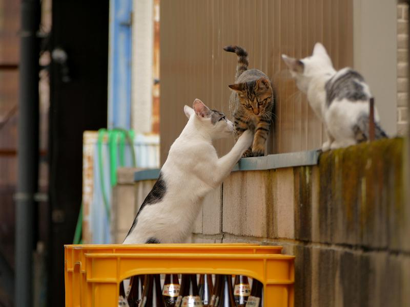 ブロック塀で大騒ぎの親子猫1