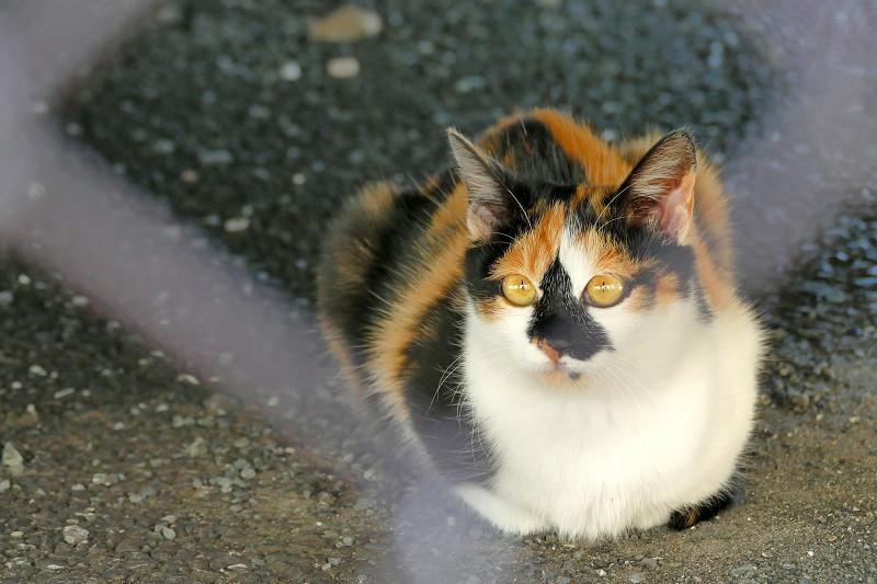 金網越しの三毛猫2