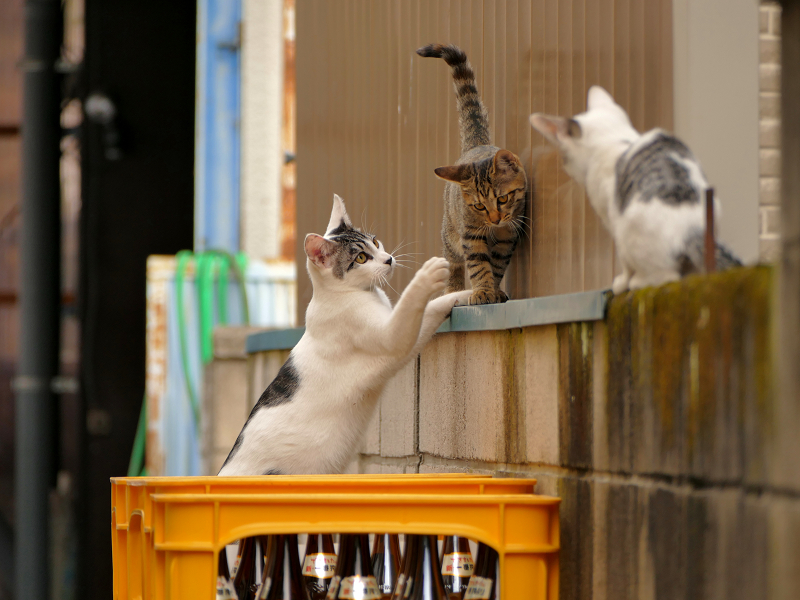 ブロック塀で大騒ぎの親子猫2