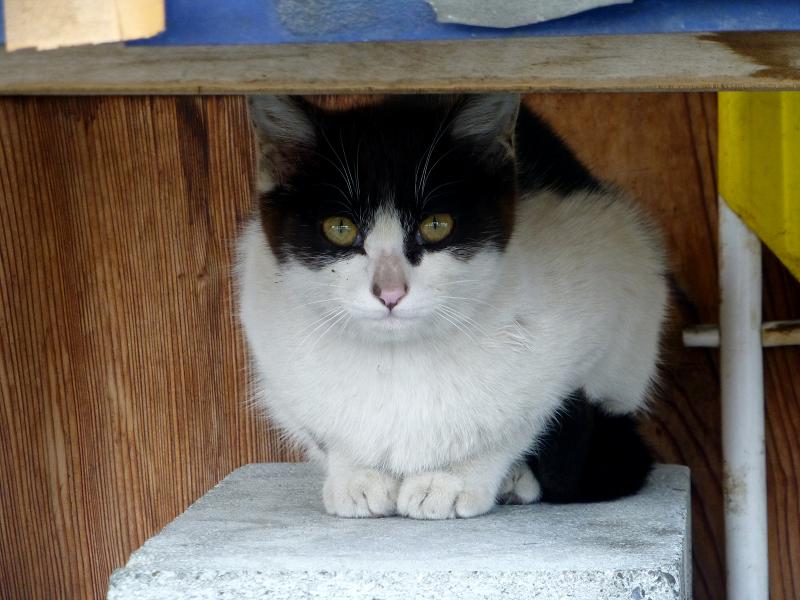 白黒猫のアップ
