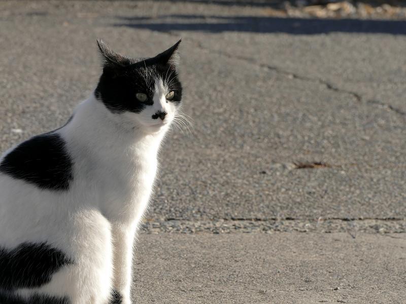 道路の白黒猫2