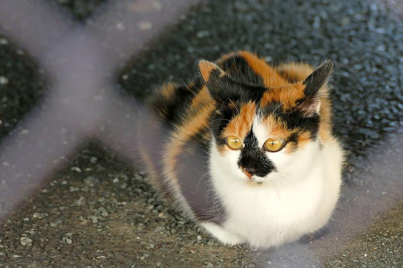 金網越しの三毛猫3