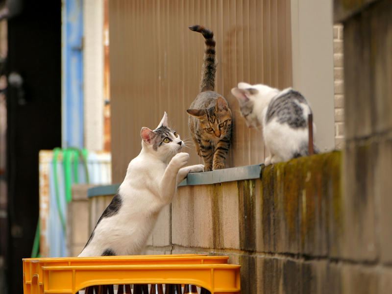 ブロック塀で大騒ぎの親子猫3
