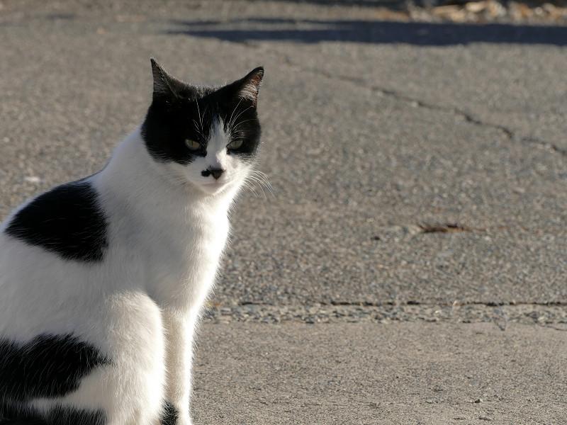 道路の白黒猫3