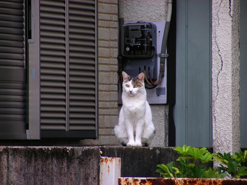 ブロック塀の白キジ猫1