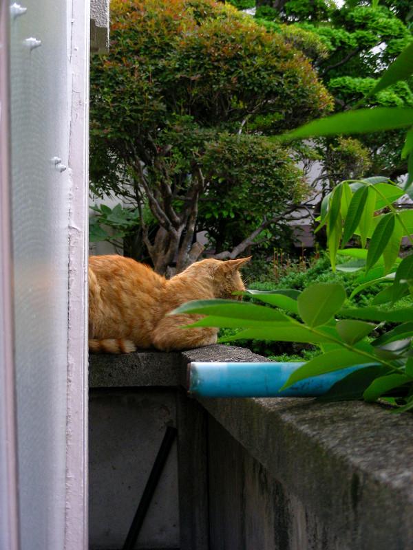 隙間から見えた茶トラ猫