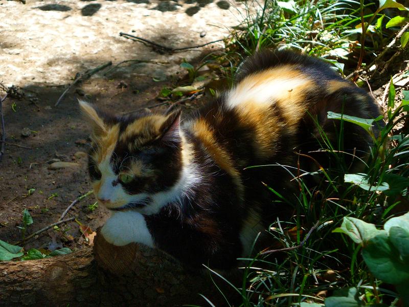 草むらと三毛仔猫2