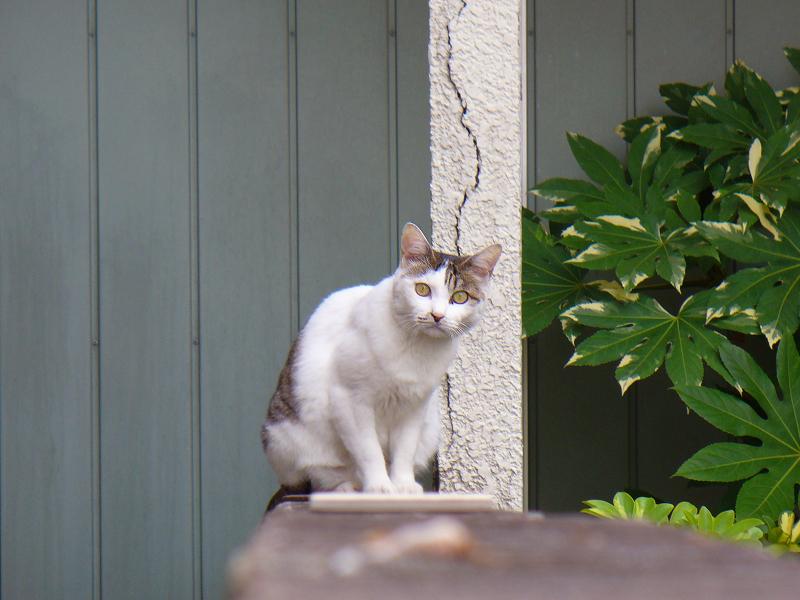 ブロック塀の白キジ猫2