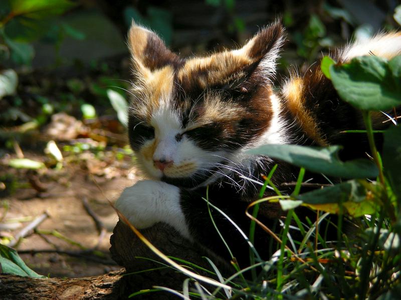 草むらと三毛仔猫3
