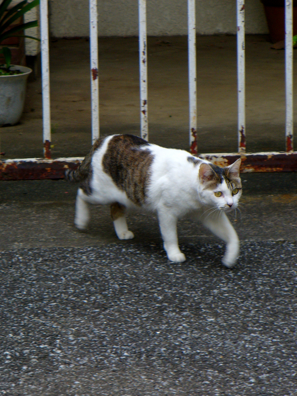 ブロック塀の白キジ猫3