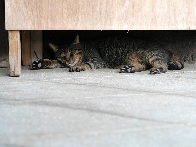 ラジオ体操机下で熟睡のキジトラ猫1
