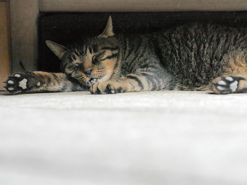 ラジオ体操机下で熟睡のキジトラ猫2