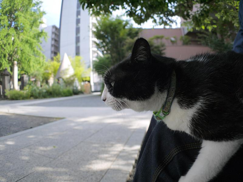 膝に乗ってジーッと見ている黒白猫1