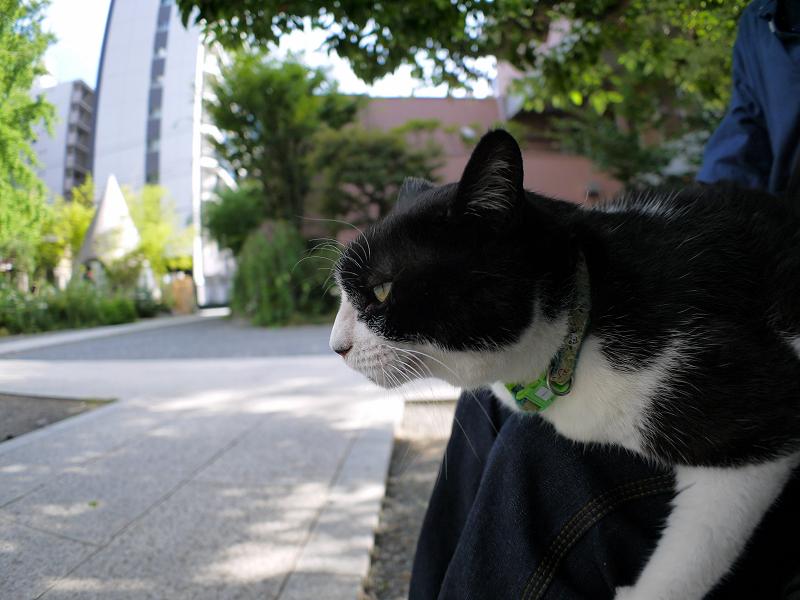 膝に乗ってジーッと見ている黒白猫2