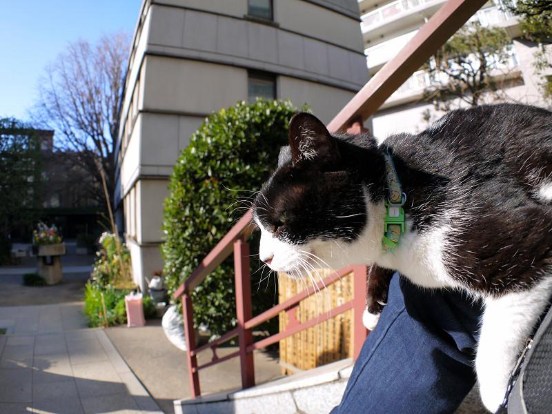 膝で垂れてる黒白猫2