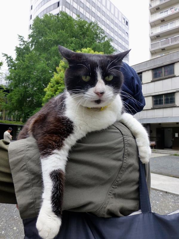 肩に乗って散歩する黒白猫