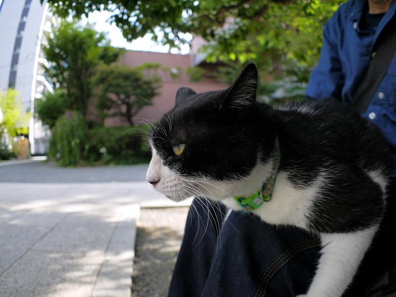 膝に乗ってジーッと見ている黒白猫3