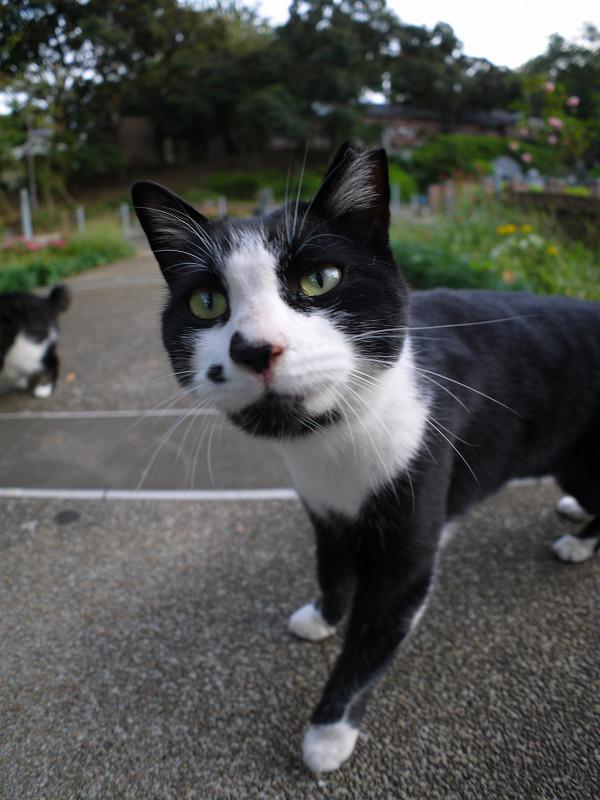 公園の黒白猫広角1