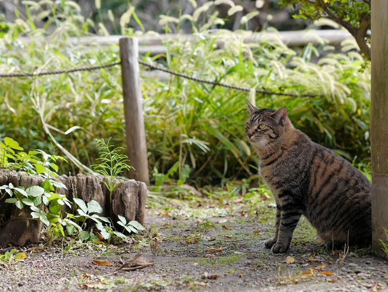 柱と切り株とキジトラ猫1